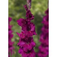 Гладиолус крупноцветковый Брамс