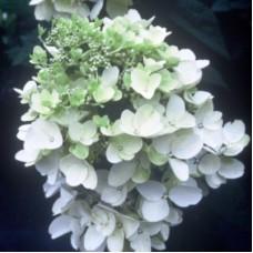 Гортензия метельчатая Вайт Даймонд