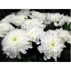 Хризантема в ассортименте Белая