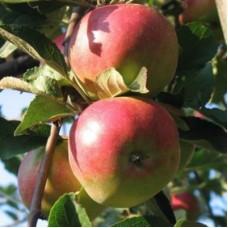 Яблоня Адыгейское