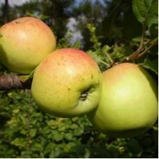 Яблоня Аленушка