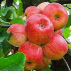 Яблоня Алтайское крапчатое