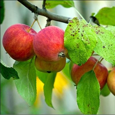 Яблоня Алтайское пурпурное