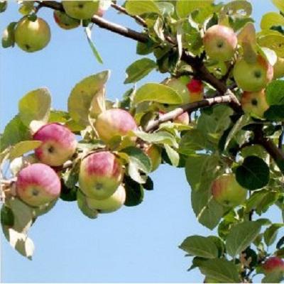 Яблоня Алтайское зимнее