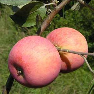 Яблоня Алтынай купить.