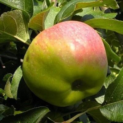 Яблоня Богатырь купить.