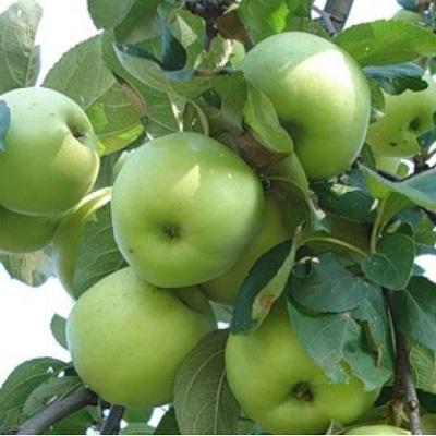 Яблоня Феникс алтайский купить.