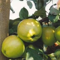Яблоня карликовая Братчуд