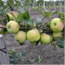 Яблоня карликовая Подснежник
