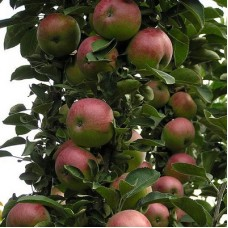 Яблоня колонновидная Арбат
