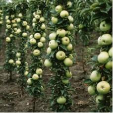 Яблоня колонновидная Гирлянда