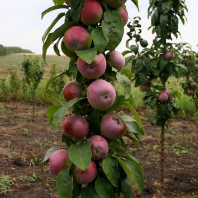 Яблоня колонновидная Конференция купить.