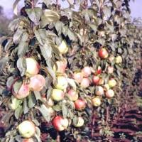 Яблоня колонновидная Кумир