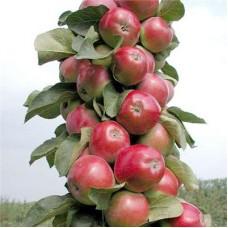 Яблоня колонновидная КВ 17