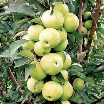 Яблоня колонновидная Медок