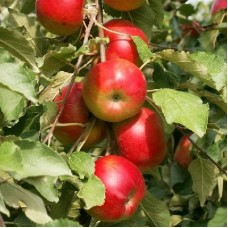 Яблоня колонновидная Останкино