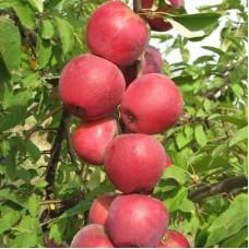 Яблоня колоновидная Пьедестал
