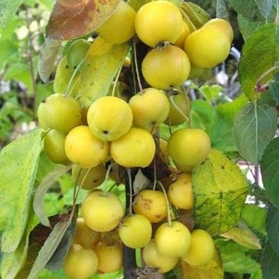 Яблоня колонновидная Ренет Мажерова купить.