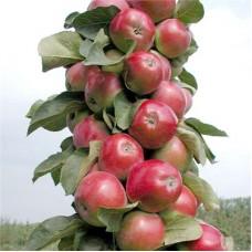 Яблоня колонновидная Созвездие