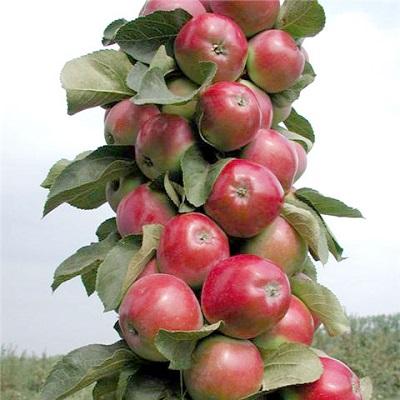 Яблоня колоновидная Созвездие
