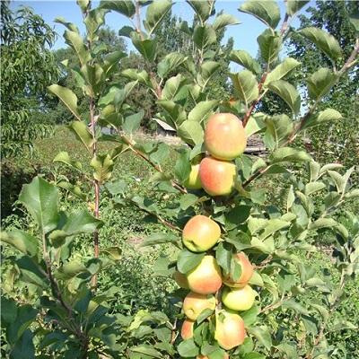 Яблоня колонновидная Т-101 купить.