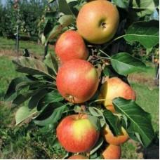 Яблоня колонновидная Восторг