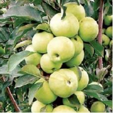 Яблоня колонновидная Зеленый Шум
