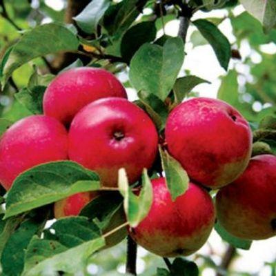 Яблоня Лобо купить.