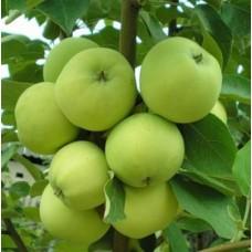 Яблоня Налив белый