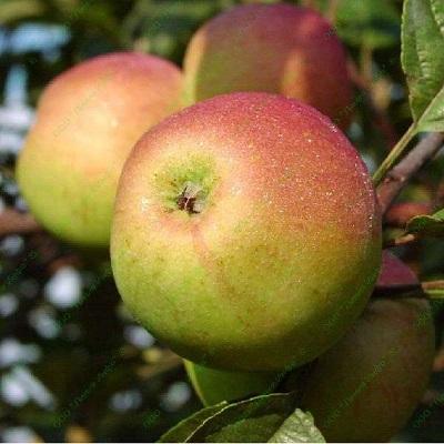 Яблоня Орлинка купить.