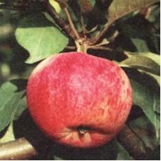 Яблоня Орловим
