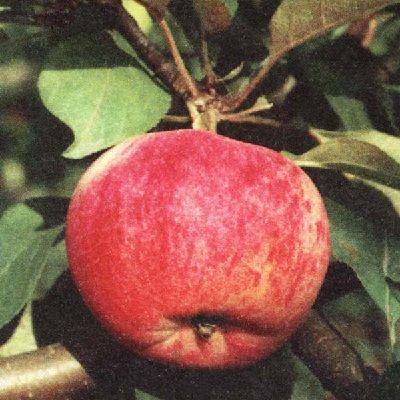 Яблоня Орловим купить.