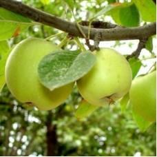 Яблоня полукарликовая Антоновка обыкновенная