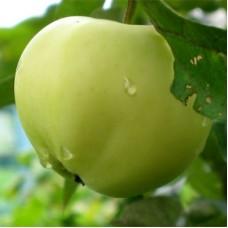 Яблоня полукарликовая Белый налив