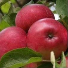 Яблоня полукарликовая Лобо