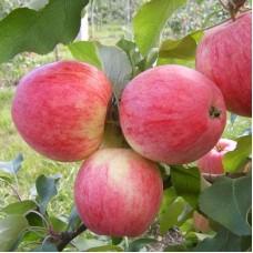 Яблоня полукарликовая Мелба