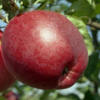 Яблоня Строевское