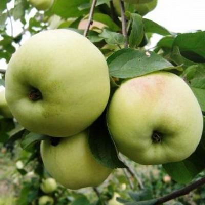 Яблоня Вита