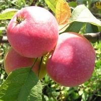 Яблоня карликовая Антоша