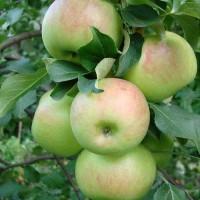 Яблоня карликовая Павлуша