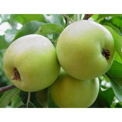 Яблоня карликовая Соколовское купить.