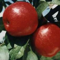 Яблоня колонновидная Алые паруса