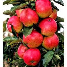 Яблоня колонновидная Баргузин