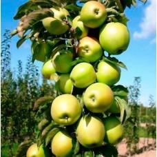 Яблоня колонновидная Икша