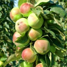 Яблоня колонновидная Приокское
