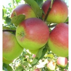 Яблоня полукарликовая Благовест