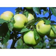 Яблоня  Славянка