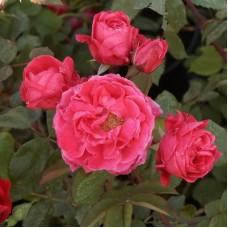 Роза канадская парковая Александр Макензи