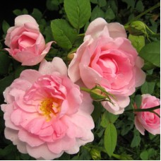 Роза канадская парковая Джон Дэвис
