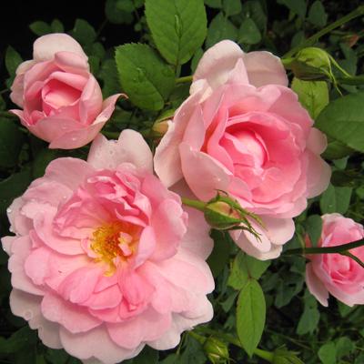 Роза канадская парковая Джон Дэвис купить саженцы